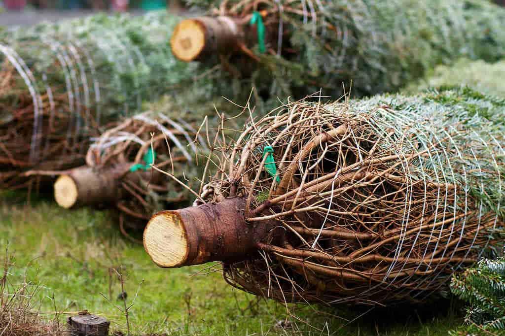 fæld selv juletræ og lav det til en årlig tradition