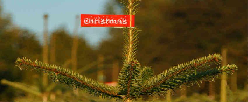 køb dit juletræ frisk